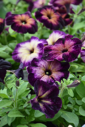 Crazytunia® Moonstruck Petunia (Petunia 'Crazytunia Moonstruck') at Echter's Nursery & Garden Center