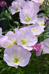 Siskiyou Mexican Evening Primrose (Oenothera berlandieri 'Siskiyou') at Echter's Nursery & Garden Center
