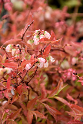 Burgundy Lowbush Blueberry (Vaccinium angustifolium 'Burgundy') at Echter's Nursery & Garden Center