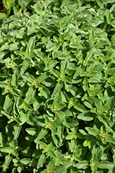 Greek Oregano (Origanum vulgare ssp. hirtum) at Echter's Nursery & Garden Center