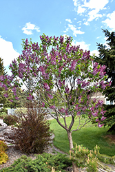 Sensation Lilac (Syringa vulgaris 'Sensation') at Echter's Nursery & Garden Center