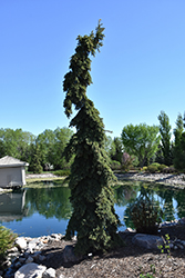 Weeping White Spruce (Picea glauca 'Pendula') at Echter's Nursery & Garden Center