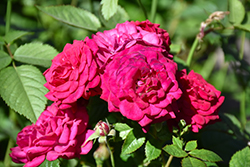 Children's Hope® Rose (Rosa 'WEKswegoba') at Echter's Nursery & Garden Center