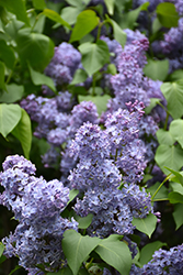 Wedgewood Blue Lilac (Syringa vulgaris 'Wedgewood Blue') at Echter's Nursery & Garden Center