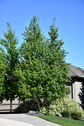 Trembling Aspen (Clump) (Populus tremuloides '(clump)') at Echter's Nursery & Garden Center