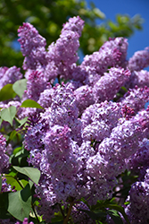 Common Lilac (Syringa vulgaris) at Echter's Nursery & Garden Center