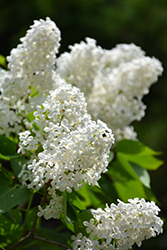 White French Lilac (Syringa vulgaris 'Alba') at Echter's Nursery & Garden Center