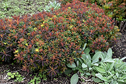 Bonfire Cushion Spurge (Euphorbia polychroma 'Bonfire') at Echter's Nursery & Garden Center