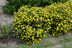 Dakota Sunspot Potentilla (Potentilla fruticosa 'Fargo') at Echter's Nursery & Garden Center