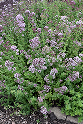 Oregano (Origanum vulgare) at Echter's Nursery & Garden Center