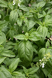 Super Sweet Genovese Basil (Ocimum basilicum 'Super Sweet Genovese') at Echter's Nursery & Garden Center