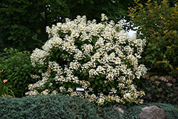 Quick Fire® Hydrangea (Hydrangea paniculata 'Bulk') at Echter's Nursery & Garden Center