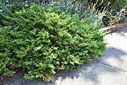 Buffalo Juniper (Juniperus sabina 'Buffalo') at Echter's Nursery & Garden Center