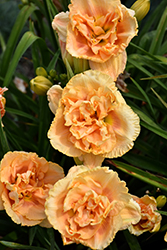 Siloam Peony Display Daylily (Hemerocallis 'Siloam Peony Display') at Echter's Nursery & Garden Center