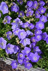 Rapido Blue Bellflower (Campanula carpatica 'Rapido Blue') at Echter's Nursery & Garden Center