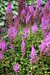 Purple Candles Astilbe (Astilbe chinensis 'Purple Candles') at Echter's Nursery & Garden Center