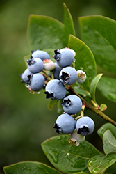 Northblue Blueberry (Vaccinium 'Northblue') at Echter's Nursery & Garden Center