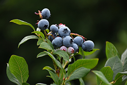 Northland Blueberry (Vaccinium corymbosum 'Northland') at Echter's Nursery & Garden Center