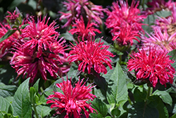 Balmy Rose Beebalm (Monarda didyma 'Balbalmose') at Echter's Nursery & Garden Center