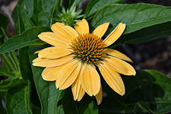 Sombrero® Granada Gold Coneflower (Echinacea 'Balsomold') at Echter's Nursery & Garden Center