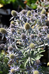 Blue Hobbit Sea Holly (Eryngium planum 'Blue Hobbit') at Echter's Nursery & Garden Center