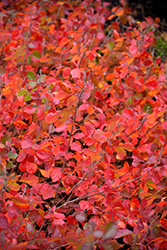 Gro-Low Fragrant Sumac (Rhus aromatica 'Gro-Low') at Echter's Nursery & Garden Center