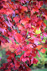Red Maple (Acer rubrum) at Echter's Nursery & Garden Center