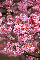 Okame Flowering Cherry (Prunus 'Okame') at Echter's Nursery & Garden Center