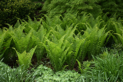 Ostrich Fern (Matteuccia struthiopteris) at Echter's Nursery & Garden Center