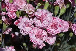 Devon Cottage™ Pinball Wizard Pinks (Dianthus 'WP15 MOW08') at Echter's Nursery & Garden Center