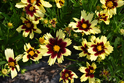 Super Star Tickseed (Coreopsis 'Super Star') at Echter's Nursery & Garden Center