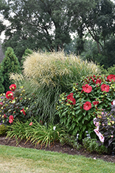 Encore Maiden Grass (Miscanthus sinensis 'Encore') at Echter's Nursery & Garden Center