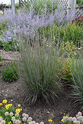 Smoke Signal Little Bluestem (Schizachyrium scoparium 'Smoke Signal') at Echter's Nursery & Garden Center